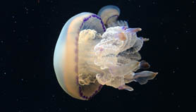 iphone 5s jellyfish swimming